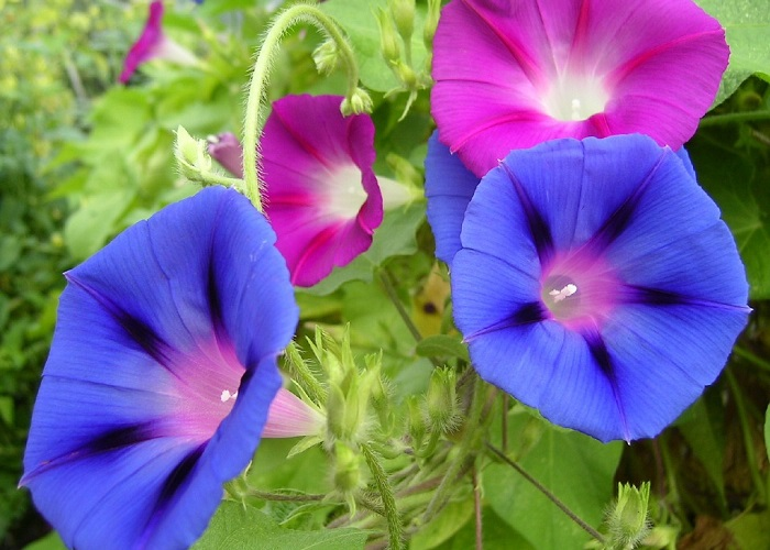 Morning glory. By Max Pixel. http://maxpixel.freegreatpicture.com/Plant-Blue-Blossoms-Flowers-Blooming-Morning-Glory-620465